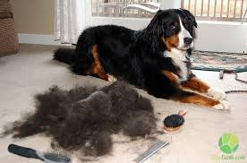 Rat Terrier Excessive Shedding by Dog Shedding Treatment 6 Effective Steps Zooearth Com Amazing