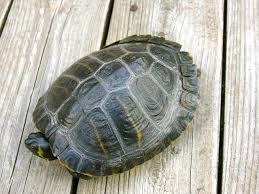 Turtle Shell Not Shedding by Do Turtle Shells Peel