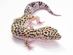 Do Leopard Geckos Shed by 117 Best Leopard Geckos Images On Pinterest Leopard Geckos
