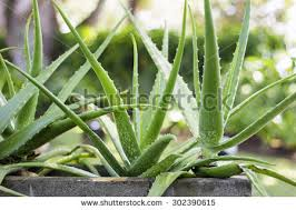 aloe vera plant stock images royalty free images vectors