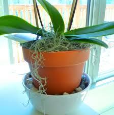 entretien d arrosage et soins pour refleurir l orchidée