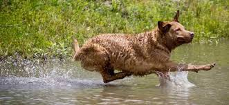 Chesapeake Bay Retriever Molting by Water Dog Breeds List These Dogs Love Water Swimming Dogs K9rl