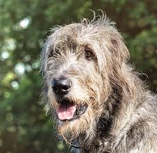 Irish Wolfhound Non Shedding by Largest Dog Breed Information About The Biggest Dogs In The World