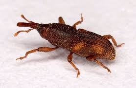Do Carpet Beetle Bite by Identify 8 Insects That Eat Holes In Clothes