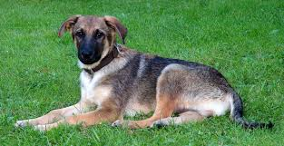List Of Non Shedding Big Dogs by Large Mixed Dog Breeds List Dog Breeds Puppies Identify Mixed