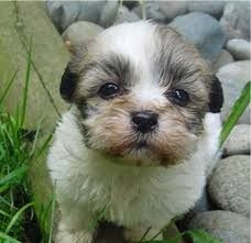 Sheltie Shedding Puppy Coat by 15 Sheltie Shedding Puppy Coat Border Collie Appearance Amp