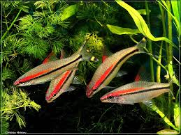 AquaScape 3 : The Fish | Scenes From A Memory™ Adrie Baumann And Aquascaping Aqua Rebell Natural Httpwwwokeanosgrombgwpcoentuploads2012 Amazoncom Aquarium Plant Glass Pot Fish Tank Aquascape Everything About The Incredible Undwater Art Outstanding Saltwater Designs Photo Ideas Anubias Nana Petite Planted Freshwater Beautify Your Home With Unique For Large Fish Monstfishkeeperscom Scape Nature Stock 665323012