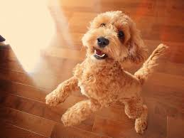 non shedding hypoallergenic hybrid dogs top small mixed breeds breeds puppies types of small