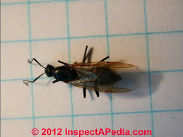 Flying Ants In Bathroom Window by Carpenter Ants Recognition Inspection For Infestation