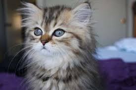 tea cup cat miniature cats