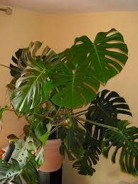 pflegeleichte zimmerpflanzen 18 vorschläge archzine net
