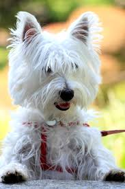 Small White Non Shedding Dog Breeds by 14 Small White Dog Breeds Fluffy Little White Dogs