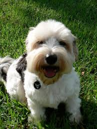 My Lhasa Apso Is Shedding Hair by Which One Maltese Ckc Lhasa Apso Silky Terrier