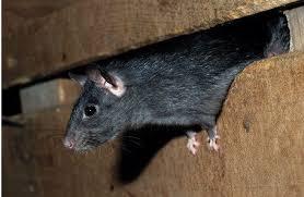 exterminer les souris c est aussi la connaître et agir en prévention