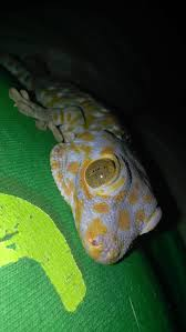 Crested Gecko Shedding Behavior by 3 Ways To Care For A Tokay Gecko Wikihow