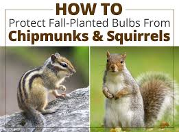 how to protect fall bulbs from chipmunks and squirrels longfield
