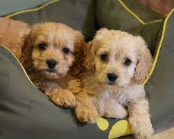 No Shed Small Dogs by Non Shedding Small Dogs Good With Kids Dog Pet Photos Gallery