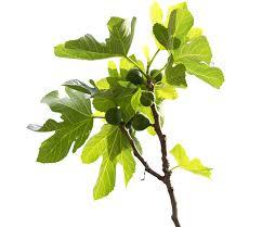 der feigenbaum als zimmerpflanze so gedeiht er am besten
