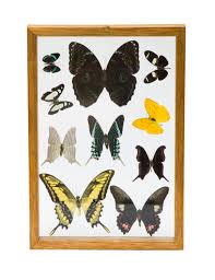 Real Dissected Butterflies Beautifully Framed And Ready To Decorate Your Wall