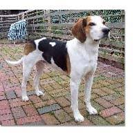 Do Bluetick Coonhounds Shed by Coonhound Breed Profile