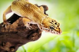 Do Baby Leopard Geckos Shed by Leopard Gecko Eublepharis Macularius For The Month Of January