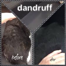 my cat has dandruff before and after of a black cat with dandruff yelp