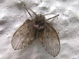 dreiecksfliegen schmetterlingsmücken bekämpfen und loswerden