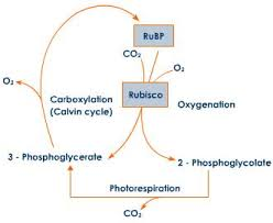 respiration Explained with Diagram