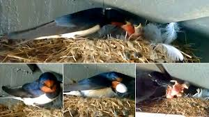 Recap Of The Barn Swallow Season 2016 - YouTube Union Bay Watch Surround Sound The Color Is So Beautiful Birds Pinterest Tree Swallow Easy Tips To Attract Swallows Swifts And Martins Feather Tailed Stories 2017 Barn Swallow Migration Annual Cycle Audubon Guide North American Fledgling Feeding Time Youtube Petting A Baby Hinterland Whos Who Eating Insects Barn Nextdoor Nature