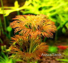 Limnophila Sessiliflora Orange | Аквариум | Pinterest | Aquatic ... Layout 22 George Farmer Tropica Aquarium Plants Aquacarium Aquascaping Live Bulk Fish Food Lifelike Hugo Kamishi Trimming Aquatic Stem Good Time For New Youtube Lab Tutorial River Bottom Natural Aquarium Plants With Pearlweedhow To Start A Carpet Of Pearlweed How To Create Your First Aquascape Love Rotala Sp Njenshan Pinterest Ideas From The Art The Planted Basics Substrate Stainless Steel Kit Tank