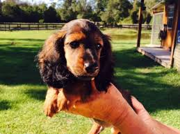 Do Long Haired Chiweenies Shed by Long Haired Miniature Dachshund Puppies For Sale Splendor Farms