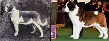 Once A Noble Working Dog The Modern St Bernard Has Been Oversized Had Its Faced Squished In And Bred For Abundant Skin You Will Not See This Type Of