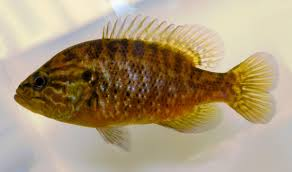 Pumpkin Seed Sunfish Pictures by Native Fish Care Sheets New To Native Fishes Nanfa Forum