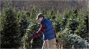 Santa Cruz Christmas Tree Farms by Growing Christmas Trees Free Of Pesticides The New York Times
