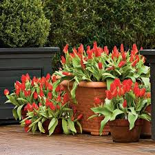 planting bulbs in containers southern living