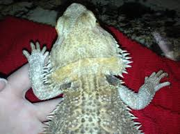 Bearded Dragon Shedding Process by New To Site Need Advice On Skin Issues U2022 Bearded Dragon Org