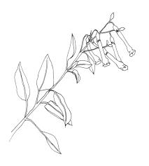 Deborah Shaw Pen Sketch Of Branch Nicotania Glauca Graham Tree Tobacco