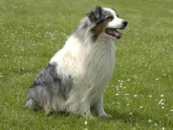 berger australien chien et chiot australian shepherd aussie wamiz