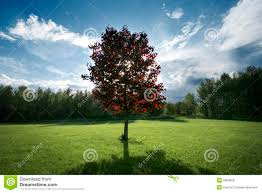 Red Maple Tree In Backyard Stock Photo. Image Of Tree - 5683458 Garden Design With Backyard Trees Privacy Yard A Veggie Bed Chicken Coop And Fire Pit You Bet How To Illuminate Your With Landscape Lighting Hgtv Plant Fruit Tree In The Backyard Woodchip Youtube Privacy 10 Best Plants Grow Bob Vila 51 Front Landscaping Ideas Designs A Wonderful Dilemma Ramblings From Desert Plant Shade Digital Jokers Growing Bana Trees In Wearefound Home 25 Potted Ideas On Pinterest Indoor Lemon Tree