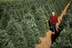 Best Variety Of Christmas Tree by Pick The Best Christmas Tree Variety For Your Home