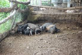 Pigs Tammi Jonas Food Ethics Pig Farming Business Plan Sample Dsc ... Pin By Pat Wozniak On Pork Pinterest Business Planning Afc Pig Farm Ecomavrovic How To Raise Pastured Pigs Without Buying Feed Httpwww Tammi Jonas Food Ethics Farming Plan Sample Dsc Raising Pros Cons The Prairie Homestead Figueroa Breeding Gguinto Bulacan Youtube Gloucestershire Old Spot Pigs And That Farm There Was To Make Your Own Pig Feed The Organic Farmer Heaven What Makes Free Range Different Downtoearth 54 Best Images Farming Backyard In Nigeria Detail Post Practical Traing Its Time Front Yard Farmer