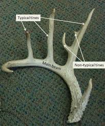 Deer Antler Shedding Cycle by Mississippi State University Deer Lab Antler Growth Cycle