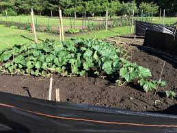 Natural Fertilizer For Pumpkins by Grow Your Own Giant Pumpkin Growing Kit Wallace Organic Wonder