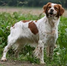 Do Brittany Spaniels Shed Hair by Brittany Dog Breed And Photos And Videos List Of Dogs Breeds