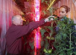 leds in greenhouses deliver same yield as grow lights using just
