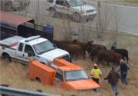 6 Cows Killed When Cattle Truck Rolls On Interstate 70 | Colorado ...