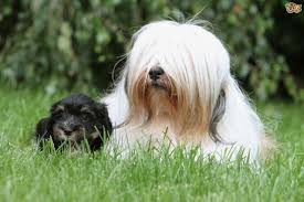 Stop Rat Terrier Shedding by Tibetan Terrier Dog Breed Information Buying Advice Photos And