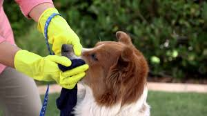 How To Get Skunk Smell Off Your Dog And Yard (Petco) - YouTube How To Get Rid Of Skunks From Under A Shed Youtube Rabbits Identify And Rid Garden Pest Of And Prevent Infestation With Professional Skunk In Backyard Outdoor Goods To Your Yard Quick Ideas Image Beasts Diggings Droppings Moles Telegraph Mole Removal Skunk Control Treatments Repellent For The Home Yard Garden Odor What Really Works Pics On Extraordinary Affordable Wildlife Control Toronto Raccoon Squirrel Awesome A Wliinc