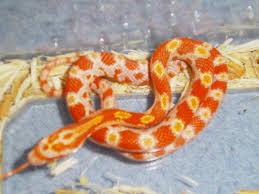 Corn Snake Shedding Time by Nw England 2011 Creamsicle Cornsnake Hatchlings Reptile Forums