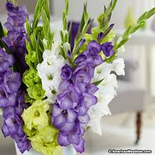 gladiolus bulbs glad you are here mix american